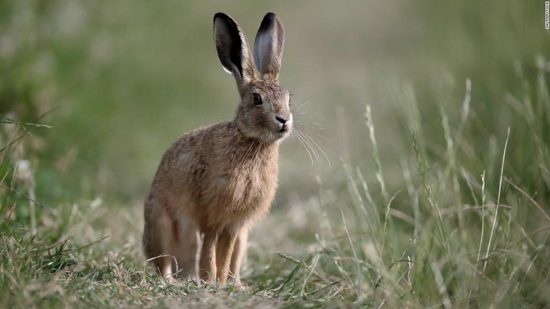 Britanicii antici nu mâncau iepuri sau pui - le venerau